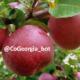 صادارت سیب گرجستان